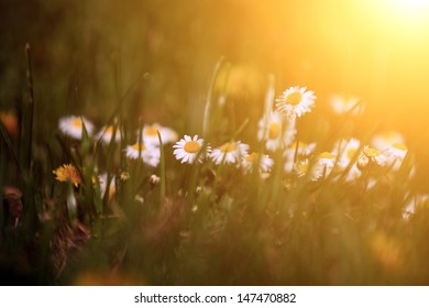 Beautiful camille wildflower in the setting sun lights