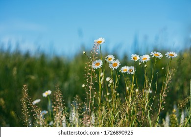Beautiful camomile daisy flowers on blurred green background with blue sky. Selective focus macro shot with shallow DOF