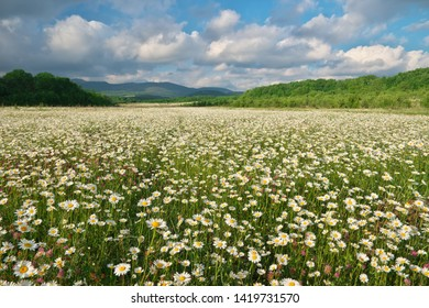 Beautiful camomile meadow in mountain at sunset. Nature landscape composition.
