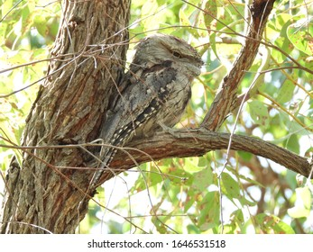 The beautiful camouflaged Tawny Frogmouth