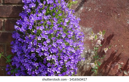 Beautiful campanula purple flowers growing & blooming on garden wall. Focus on some of campanula flowers petals with space to add text on blurry flowers, green leaves bush, wall surface in background