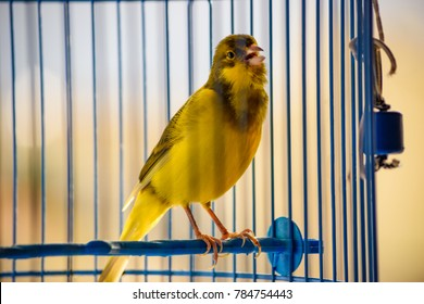Beautiful Canary singing melodies inside a blue cage. Portrait of a yellow canary