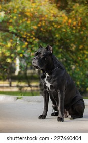 beautiful Cane Corso dog in the street