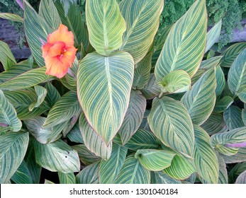 Beautiful Canna lily leaf in the garden. canna lily plant in the park or garden. Orange canna lily flower that bloom in the botanical garden of Bedugul Bali, Indonesia.