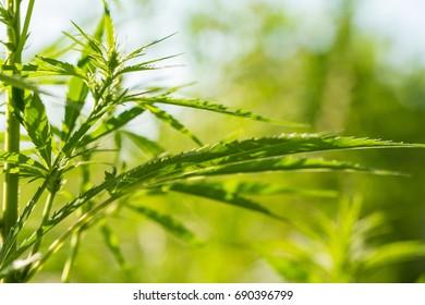 amorseco grass
