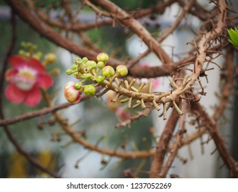 Beautiful cannonball flower is blooming on Cannonball tree with natural environment, selective focus
