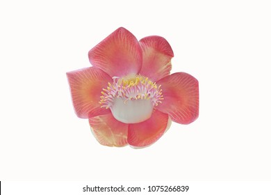 Beautiful Cannonball flower on white background.