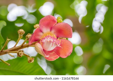 The beautiful cannonball tree flower with green bokeh background. / Cannonball Tree (Couroupita guianensis).