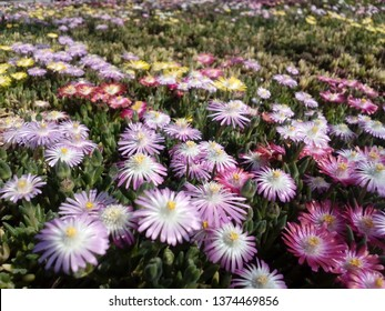 beautiful cantus flowers in spring and beautiful colors