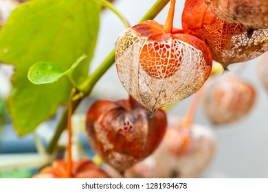 Beautiful Cape gooseberry on the branch
