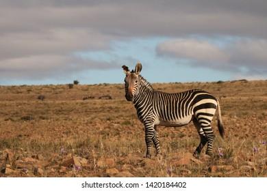 Beautiful Cape Mountain Zebra standing in arid Karoo habitat on a mountain plateau in winter.