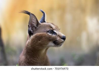 Beautiful caracal cat