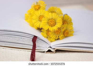 Beautiful card with a small bunch of bright yellow flowers of coltsfoot in open note book. Concept for dreaming theme. Fresh spring plants