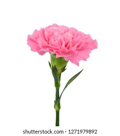 beautiful carnation flower isolated on white background
