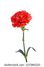 beautiful carnation flower isolated on white background