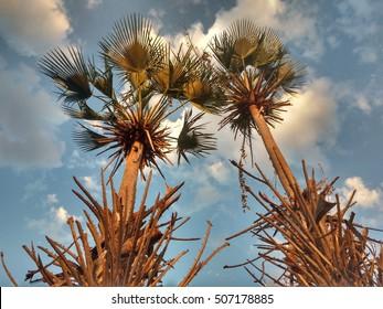 beautiful carnauba trees point towards a cloudy sky