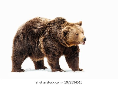 Beautiful Carpathian brown Bear on a  clean background