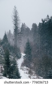 Beautiful Carpathian fir forest landscape on a snowy day in December