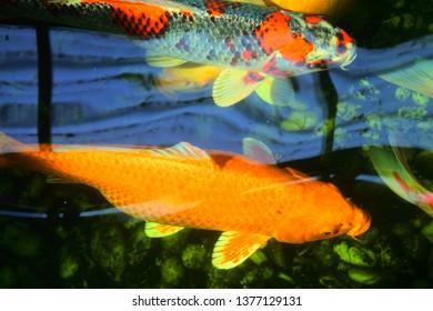 Fish Pond Plants for Sale Images, Stock Photos & Vectors