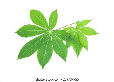 Beautiful Cassava leaf on white background