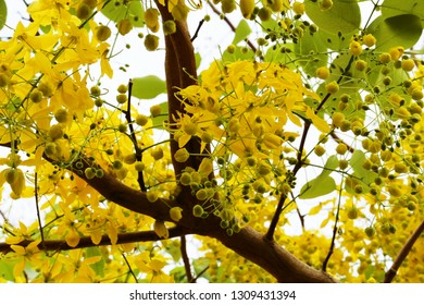 Beautiful cassia fistula flowers blossom in nature landscape blur background