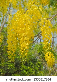 Beautiful Cassia fistula (Golden shower tree) blossom blooming on tree with nature blurred background, known as golden rain tree, canafistula and ratchapruek in Thailand.