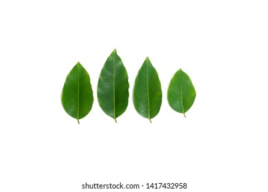 beautiful Cassia fistula leaves  isolated on white background.Golden shower leaf.Cassia fistula leaf.