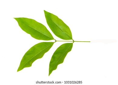 beautiful Cassia fistula leaves ,  On a white background.Green Leaf Cassia fistula.Water droplets on leaves Cassia fistula