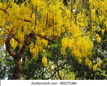 Beautiful of cassia tree, THAILAND national tree.Yellow LABURNUM flowers on a tree in spring.Cassia fistula, known as the golden rain tree or shower tree along Wang riverside of Thailand.