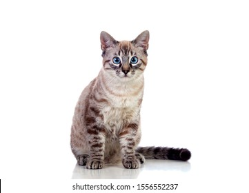 Beautiful cat with blue eyes isolated on a white background