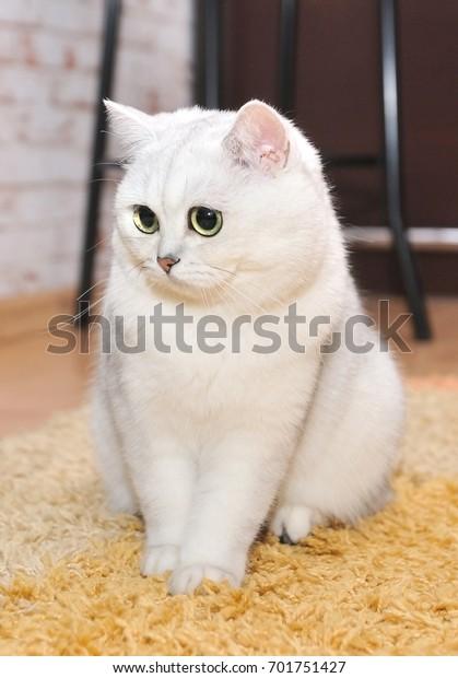 Beautiful Cat Breed British Silver Chinchilla Stock Photo Edit Now 701751427