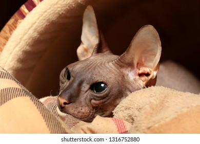 Beautiful cat breed Don Sphynx close-up