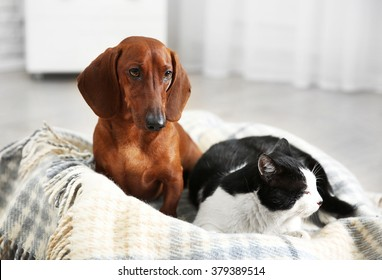 Beautiful cat and dachshund dog on plaid