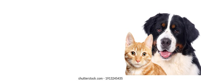 Beautiful cat and dog in front a white background