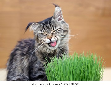 Beautiful cat eating and enjoying catnip or cat grass. Portrait of a cute female maine coon cat (Felis silvestris catus) tasting grass from the flower pot with a funny and disgusted face.