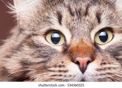 Beautiful cat eyes in close up image in studio photo. Fluffy domestic cat