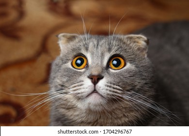A beautiful cat of a fashionable breed Scottish fold asks to eat