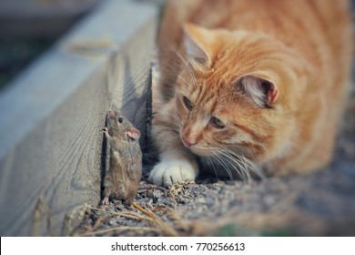 beautiful cat fun and cleverly plays with the captured mouse
