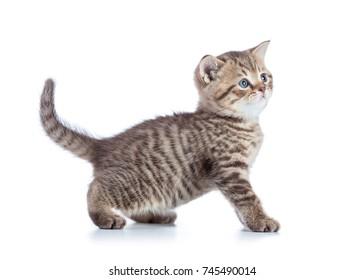 Beautiful cat kitten isolated on white background