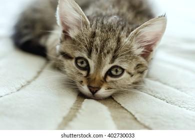 Beautiful cat lies on the carpet. Young grey kitten.