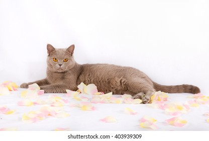 Beautiful cat is lying with rose petals