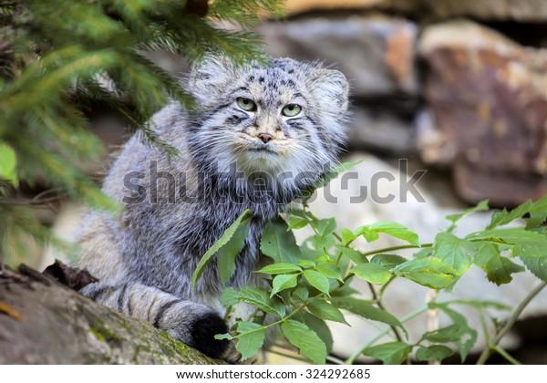 beautiful cat, cat Pallas', Otocolobus manul