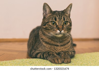Beautiful cat resting on the floor.Toned photo