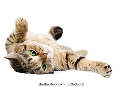 Beautiful cat Scottish Straight, lying on his back, isolated on white background