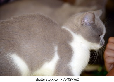 Beautiful cat at the cat show