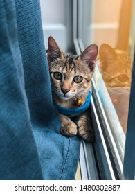 Beautiful cat sits happily on the floor and and looking forward. Kitten sitting between windows and curtains in the room at home. Domestic animal. A tiger cat wearing a yellow bell securitiy collar.