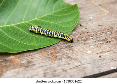 Beautiful caterpillar creeps on big green leaf. Caterpillar of the Old World Swallowtail (Papilio machaon), a butterfly of the family Papilionidae.