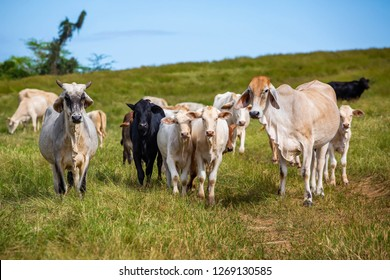 Beautiful cattle standing in the field of grass farm raised