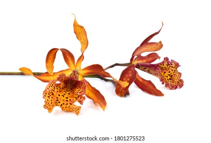 beautiful cattleya orchid flower isolated on white background