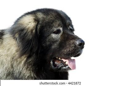 Beautiful Caucasian Shepherd Dog isolated over white background.